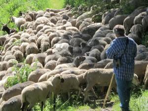 Pastoralisme : la vie d'un berger à Saint-Véran