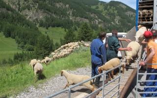 arrivee des moutons