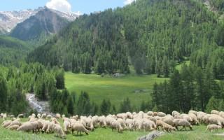 arrivee moutons