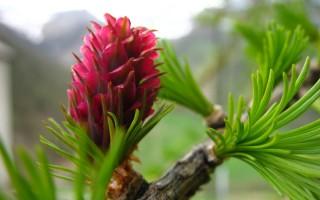 fleur meleze